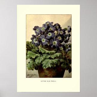 Suttons' blue primula poster
