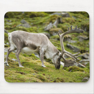 Svalbard reindeer  2 mouse pad