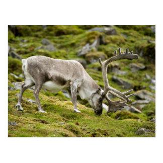 Svalbard reindeer  2 postcard