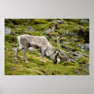 Svalbard reindeer  2 poster