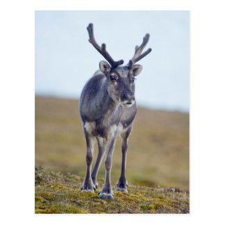 Svalbard reindeer postcard