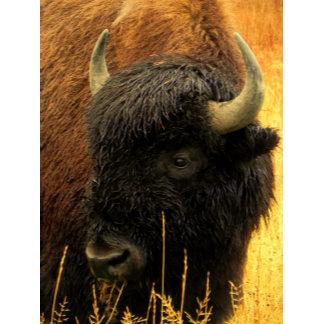 American Bison grazing