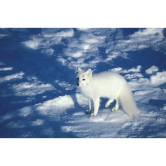 Arctic fox in white winter coat, hunting by