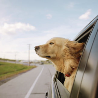 """Dog Head Out Car Window Photo Poster Print"""