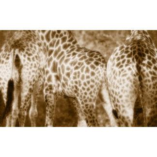 Close-Up of Giraffes Kruger National Park South