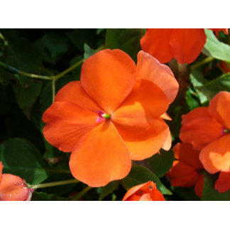 Vivid Orange Vermillion Impatiens Flower