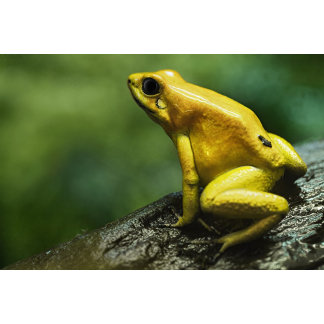 also known as Golden Dart Frog; endemic to the