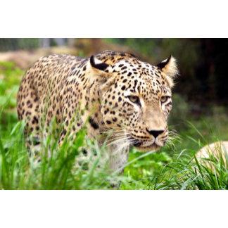 Leopard Looking at his Prey