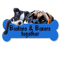 Boston Terriers and Boxers together
