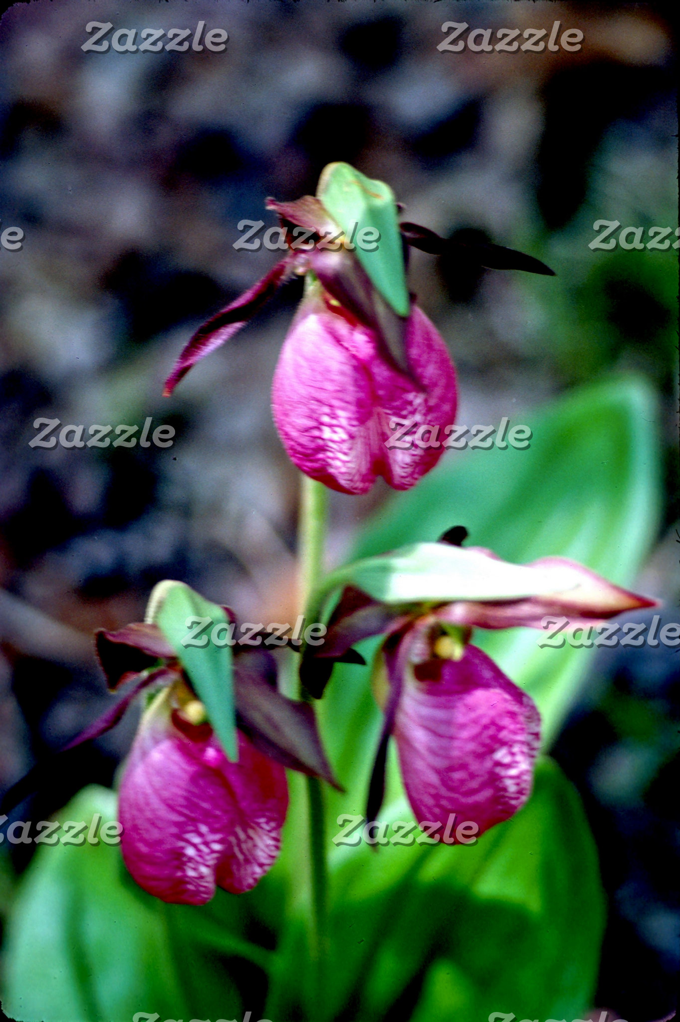 Lady Slipper I