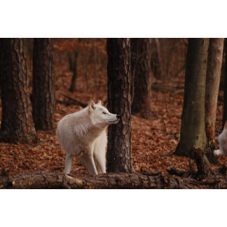 Artic Wolf at Wolf Preserve
