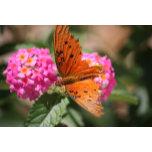 closeup orang-blk butterfly on lantana
