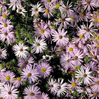 Aromatic Aster (B)
