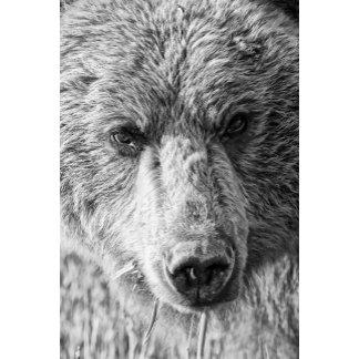 Alaskan Coasstal Brown Bear