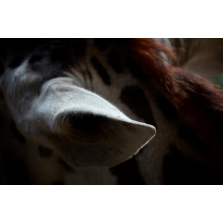 giraffe ear close up african animal wildlife image