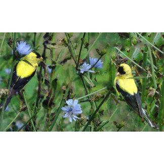 Wild Goldfinches