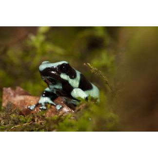 Central PA, USA, Auratus Dart Frog; aka Green