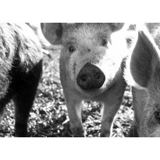 Close up of piglets