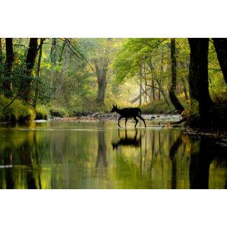 Whitetail Deer Shults