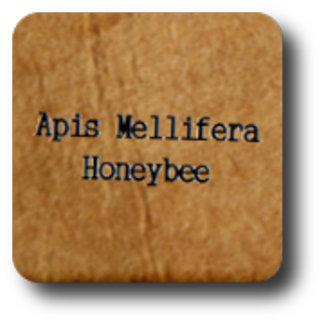 Apis Mellifera Honeybee