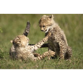 Cheetah, Acinonyx jubatus, cubs playing in the