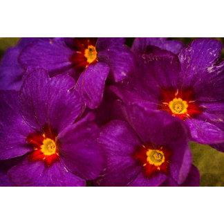 Purple Primula Flowers