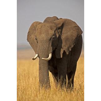 African Bush Elephant Loxodonta africana) on
