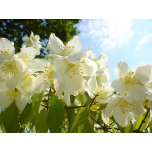 jasmine-flowers.jpg