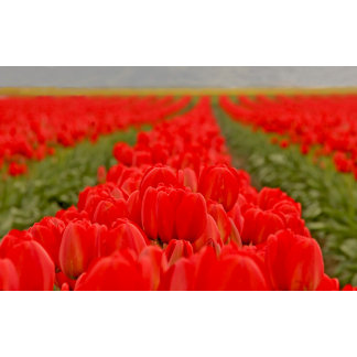Red Tulip Field Photo