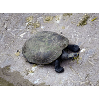 water turtle on bank reptile image