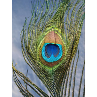 Sunny Peacock Feather