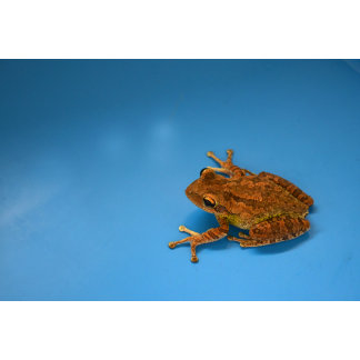 Tree frog against blue background on right