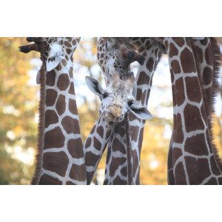 Giraffes at Tama Zoo, Tama Zoo, Tokyo