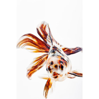 Calico Fantail Comet goldfish (Carassius