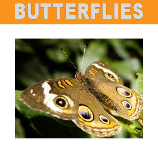 Butterfly Posters, Decor, Gifts with Butterflies