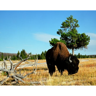 Buffalo at Old Faithful, Yellowstone