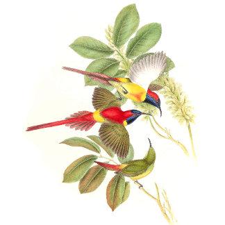 Goulds Sunbird Birds