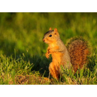 A young Curious Red Squirrel