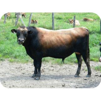 Bull or No BULL