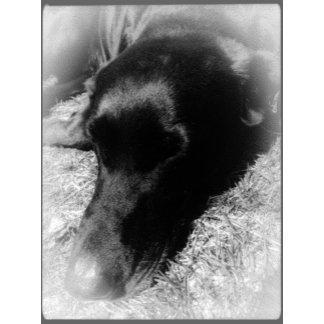 Black Labrador Photos
