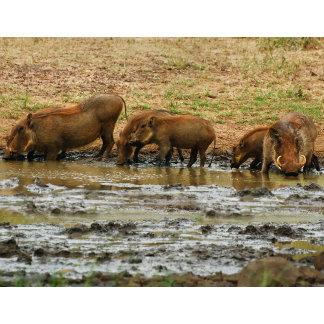 * Warthog