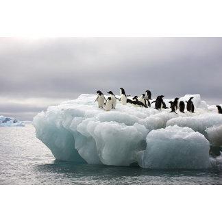 Adelie Penguin Pygoscelis adeliae),