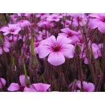 PS  pink-flowers.jpg
