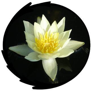 White Water Lily/Lotus Photo