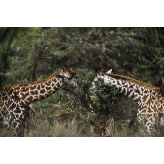 Giraffes Feeding On Acacia Branch, Africa