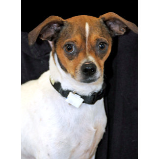 James, Chihuahua/Jack Russell Mix Shelter Dog