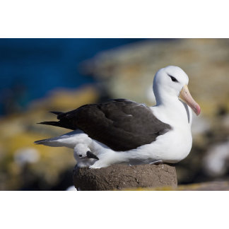 Black-browed Albatross Thalassarche