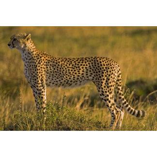 Cheetah Acinonyx jubatus) on plain, Masai