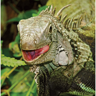 * Reptiles