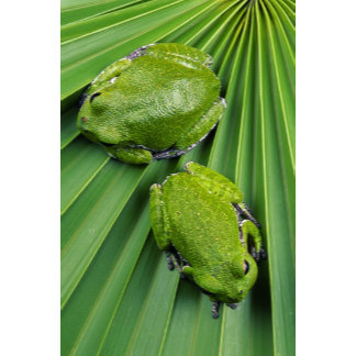 Barking Tree Frog (hyla gratiosa)